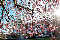 Japanese magnolia blossoms and the Colvard Student Union (photo by Beth Wynn / © Mississippi State University)