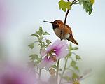 Allen's Hummingbird Male on Mallow, Descanso Gardens, Southern California