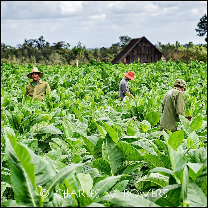 Faces Of Cuba - working the tobacco fields. Harvest soon.<br />