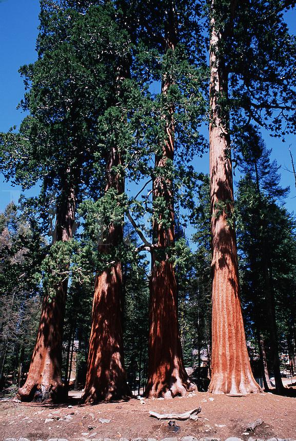 A grove of Sequoia trees (Sequoiadendron giganteum.). Sequoia National Park, California.