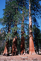 A grove of Sequoia trees (Sequoiadendron giganteum.). Sequoia National Park, California.