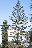 Araucaria heterophylla (Norfolk Island pine) conifer tree