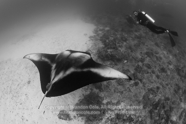 ps0561-D. Manta Ray (Manta birostris) and scuba diver. Maldives, Indian Ocean..Photo Copyright © Brandon Cole. All rights reserved worldwide.  www.brandoncole.com..This photo is NOT free. It is NOT in the public domain. This photo is a Copyrighted Work, registered with the US Copyright Office. .Rights to reproduction of photograph granted only upon payment in full of agreed upon licensing fee. Any use of this photo prior to such payment is an infringement of copyright and punishable by fines up to  $150,000 USD...Brandon Cole.MARINE PHOTOGRAPHY.http://www.brandoncole.com.email: brandoncole@msn.com.4917 N. Boeing Rd..Spokane Valley, WA  99206  USA.tel: 509-535-3489