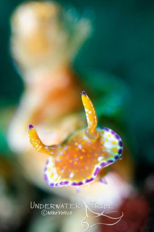 Ceratosoma tenue nudibranch, Beangabang Bay, Pantar Island, Nusa Tenggara, Indonesia, Pacific Ocean