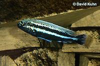 1122-1010  Auratus Cichlid, Male, Lake Malawi Cichlid, Melanochromis auratus  © David Kuhn/Dwight Kuhn Photography