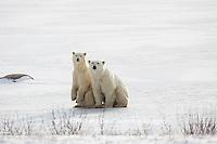 01874-13714 Polar Bears (Ursus maritimus) female with 1 cub. Churchill Wildlife Management Area, Churchill, MB Canada