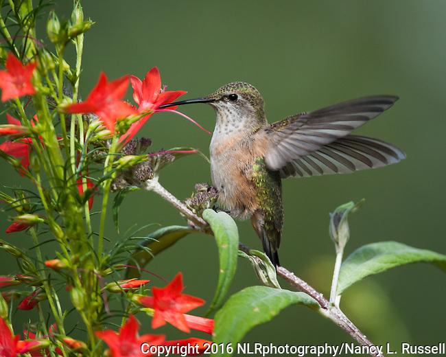 Rufous hummingbird (juvenile) at the gilia flowers in the garden