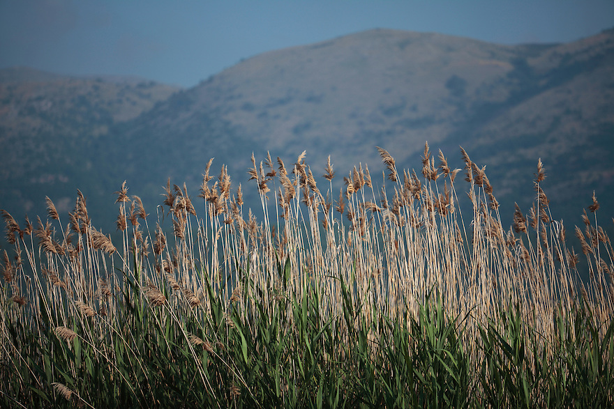 Giant Reed, Arundo donax. Stenje region, Lake Macro Prespa (850m) <br /> Galicica National Park, Macedonia, June 2009<br /> Mission: Macedonia, Lake Macro Prespa /  Lake Ohrid, Transnational Park<br /> David Maitland / Wild Wonders of Europe