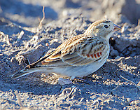 Adult female McCown's longspur in winter