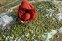 INDIA, Madhya Pradesh , Kasrawad, cotton farming, woman collect fibres from unmatured cotton boll formation