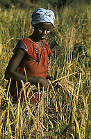 West Africa, Liberia, Kpelle Tribe, woman harvesting rice..