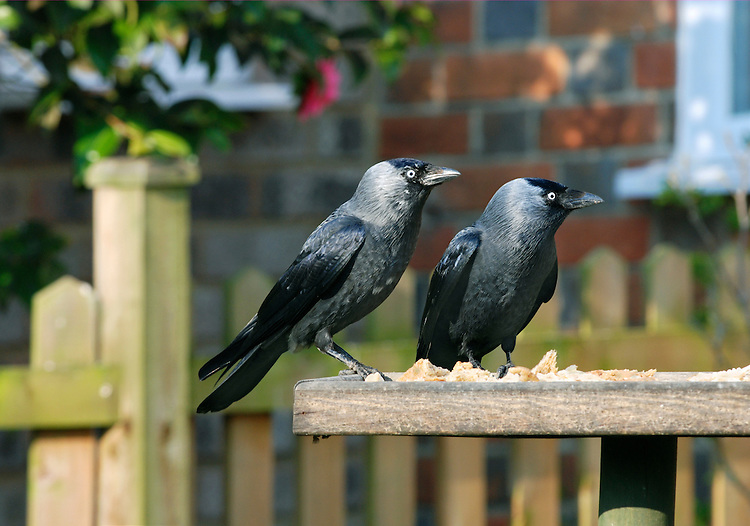 Jackdaw Corvus monedula L 31-34cm. Our most familiar small corvid. Has a swaggering walk and is aerobatic in flight. Forms large flocks outside breeding season. Sexes are similar. Adult has smoky-grey plumage, darkest on wings and crown, pale blue-grey eye and grey nape. Juvenile is similar but plumage is tinged brownish and eye is duller. Voice Utters a characteristic chack call. Status Widespread and common resident of farmland, sea cliffs, towns and villages.