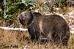 Grizzly bear in fresh snow. Yellowstone National Park, Wyoming.