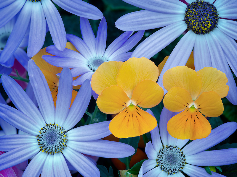 Blue Cineraria and orange violet flowers.