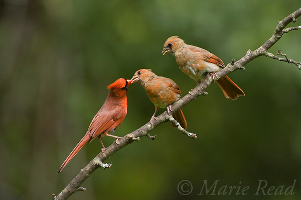 Northern Cardinal (Cardinalis cardinalis) male feeding fledgling while another looks on, New York, USA.