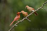 Northern Cardinal (Cardinalis cardinalis) male feeding fledgling while another looks on, New York, USA.