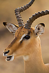Impala (Aepyceros melampus) male, Kruger National Park, South Africa