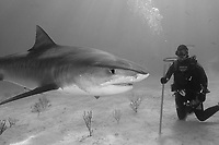 Large tiger shark, Galeocerdo cuvier, and scuba diver holding pvc pipe, Little Bahama Bank, Bahama Islands, Bahamas, Caribbean, Atlantic, model release, black and white