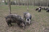 - breeding of pigs in half-fredom at the agricultural company Spigaroli<br /> <br /> - allevamento di maiali in semi-libert&agrave; presso l'azienda agricola Spigaroli