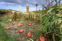 France, Indre-et-Loire (37), Montlouis-sur-Loire, jardins du château de la Bourdaisière, le potager conservatoire de la Tomate, potirons 'Rouge Vif d'Etampes' en automne