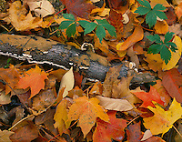 McClean County, IL<br /> Ground detail of mossy log and fall leaves of maple hardwood forest Funks Grove Nature Preserve