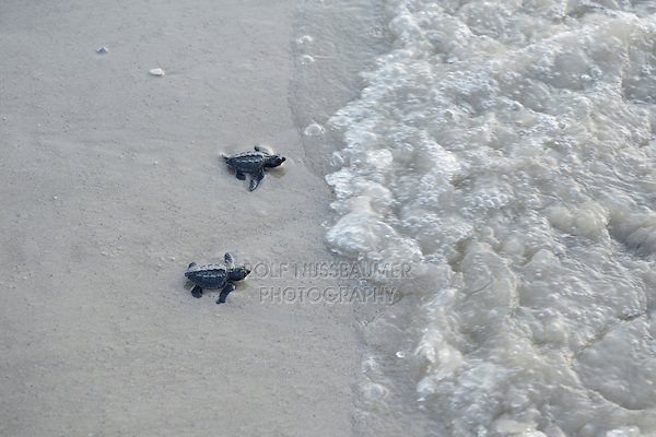 Kemp's ridley sea turtle (Lepidochelys kempii), hatchling walking to surf, Padre Island National Seashore, North Padre Island, Texas, USA