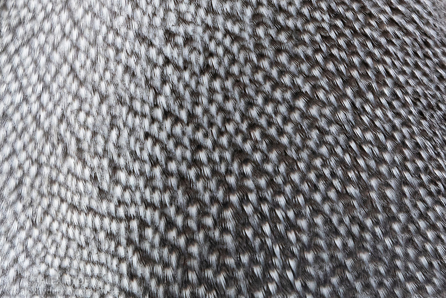 Close up of feathers of King Penguin (Mirounga leonina) Salisbury Plane, South Georgia. November.