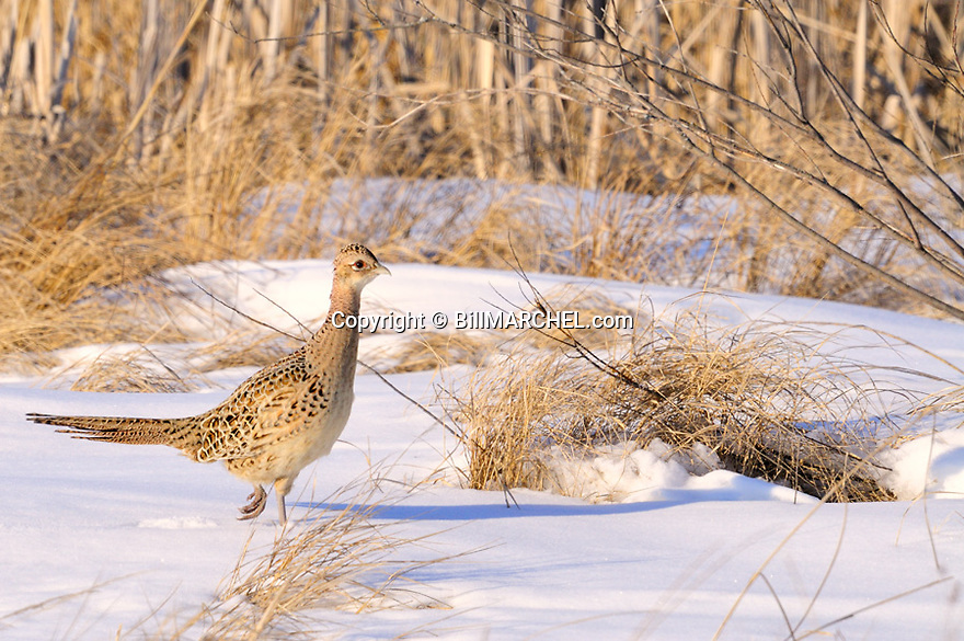 00890-042.20 Ring-necked Pheasant hen is on edge of grassland cover during winter.   Food, survive, farm, cold, action, CRP..