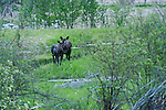 Female moose at the Kootenai National Wildlife Refuge watching and protecting her yearling moose.