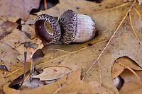 Fallen acorns in the Arkansas River Valley.