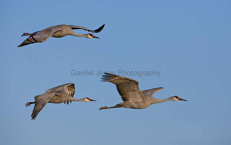 Sandhill Cranes in flight, Grus canadensis, Bosque Del Apache National Wildlife Refuge, New Mexico