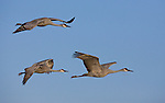 Sandhill Cranes in flight, Grus canadensis, Bosque Del Apache National Wildlife Refuge, New Mexico