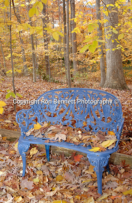 Yellow Orange Autumn leaves with blue chair, Wonders of fall leaves in Virginia, Fine Art Photography by Ron Bennett, Fine Art, Fine Art photography, Art Photography, Copyright RonBennettPhotography.com ©