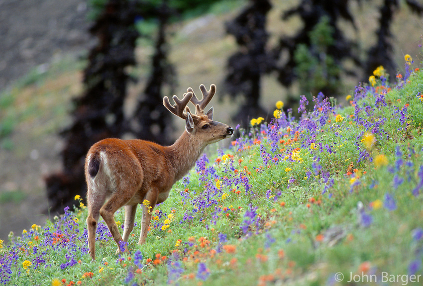 35-M07-DB-80    BLACK-TAILED DEER (Odocoileus hemionus columbianus) male  in meadow, Olympic National Park, Washington, USA.