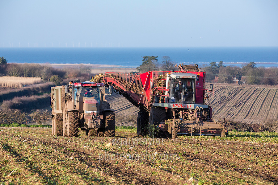 Harvsting sugar beet with a Varveat 617 - Norfolk, February