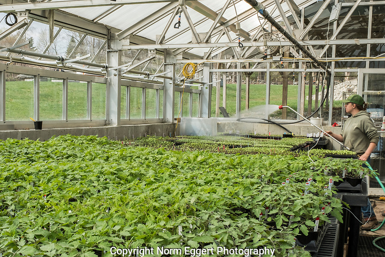 Vegetable seedlings in the greenhouse at Brigham Hill Farm, a non-profit farm that raises vegetables for the Worcester County Food Bank.