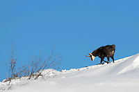 Chamois buck in the snow in front of a blue sky