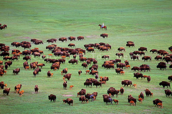 Bison rancher, Duane Lammers, rides a horse among bison herd on the 777 Ranch, near Fairburn, South Dakota, AGPix_0374.