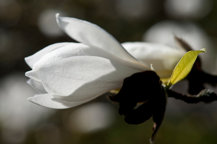 Magnolia x loebneri, late March.