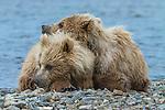Brown bear cubs, Katmai National Park, Alaska, USA