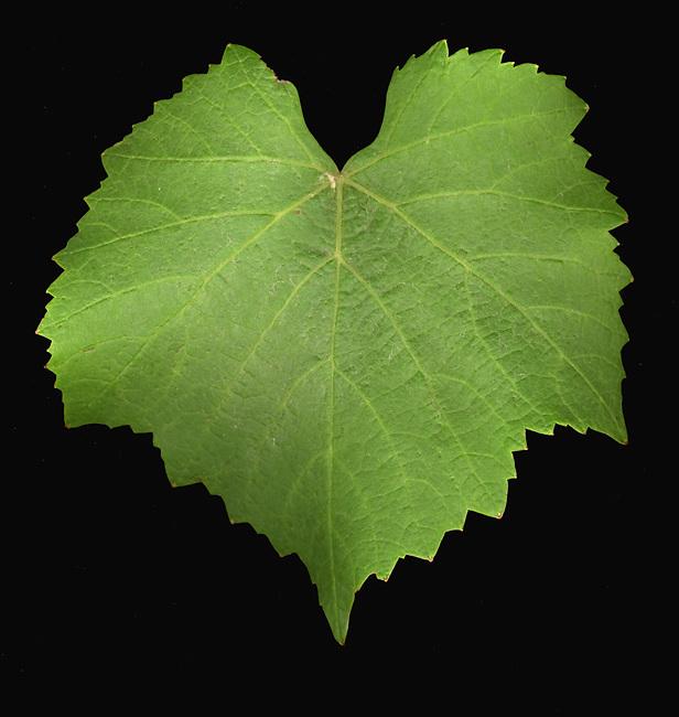 Pinot Noir leaf
