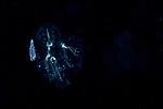 Sappharina on a salp , Black Water Diving; Florida Atlantic Diving; Plankton; larval fish; pelagic larval marine life; plankton creatures, jellyfish; SE Florida, Atlantic Ocean; Gulf Stream current