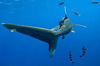 Oceanic white tip shark, Carcharhinus longimanus, with pilot wish. Open ocean, Kona Coast, Big Island, Hawaii, USA, Pacific Ocean