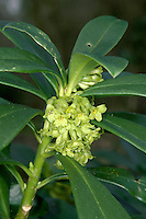 SPURGE LAUREL Daphne laureola (Thymelaeaceae) Height to 1m. Hairless, evergreen shrub found in woods and scrub on calcareous soils. FLOWERS are 8-12mm across and yellowish, with 4 petal-like sepal lobes; borne in clusters (Jan-Apr). FRUITS are berry-like and black when ripe. LEAVES are dark green, shiny and oval; in clusters at top of stem. STATUS-Widespread but local in England and Wales.