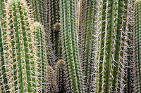 Weberbauerocereus columnar cactus with sharp spines, Lotusland