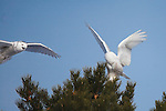 A snowy owl perched in a ponderosa pine tree gets buzzed by another owl flying by