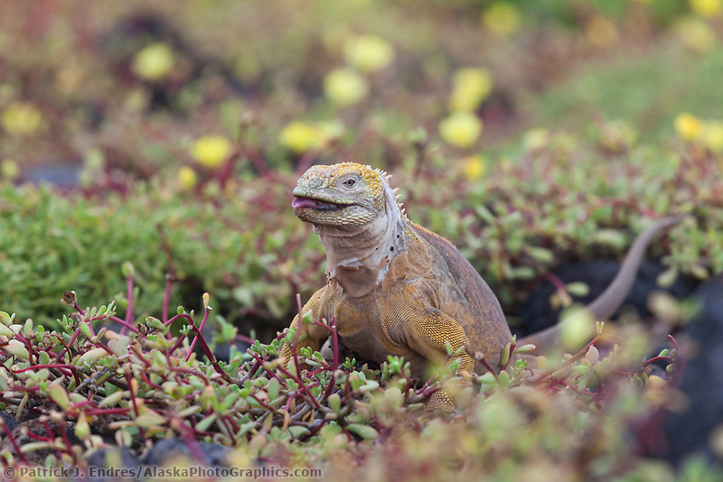 Male land iguana feeds on the blossoms of portulaca, South Plaza Island, Galapagos Islands, Ecuador