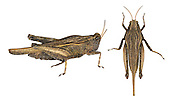 Slender Groundhopper - Tetrix subulata