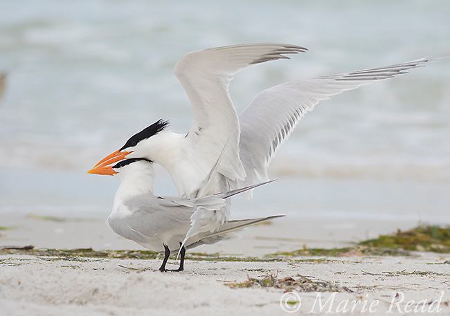 Royal Terns (Sterna maxima), pair copulating, Fort De Soto Park, Florida, USA