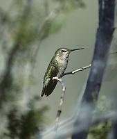 Anna's Hummingbird Female - Calypte anna